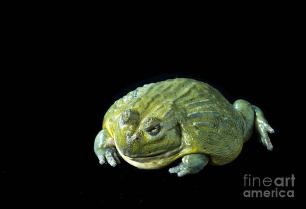 Photograph - Giant African Bullfrog by Les Palenik