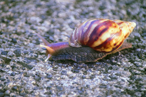 Photograph - Giant African Snail Achatina Fulica by Frank Wilson