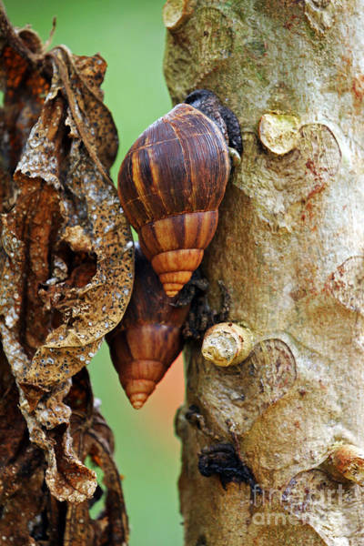 Photograph - Giant African Snails by Jennifer Robin