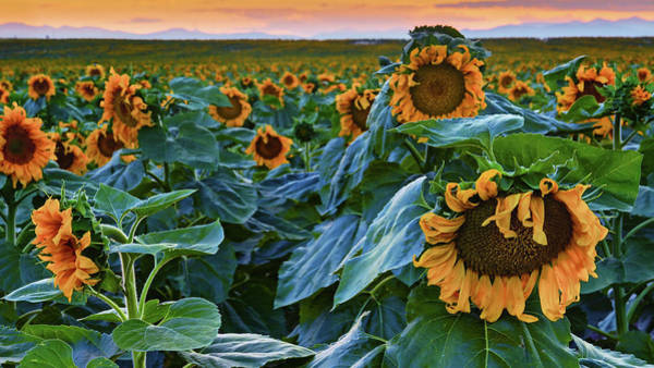 Photograph - Giant Colorado Sunflowers At Sunset by John De Bord