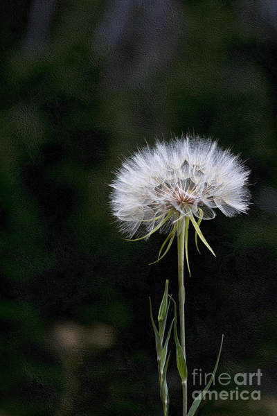 Photograph - Giant Dandelion Salsify by Jemmy Archer