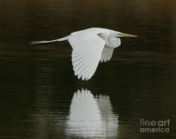Wall Art - Photograph - Giant Egret Flight Grace by Deborah Benoit