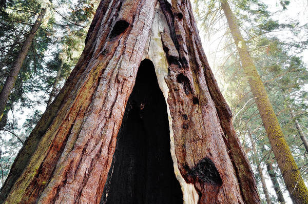 Wall Art - Photograph - Giant Forest Giant Sequoia by Kyle Hanson