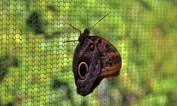 Photograph - Owl Butterfly by Cynthia Guinn