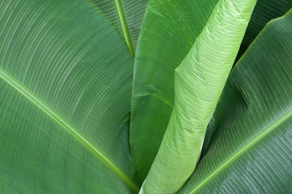 Photograph - Giant Green Palm by Helen Northcott