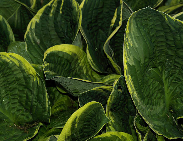 Photograph - Giant Hosta Closeup by John Forde