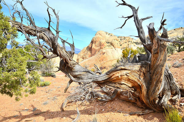 Photograph - Giant Juniper by Ray Mathis