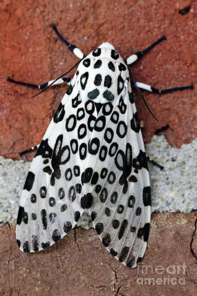 Photograph - Giant Leopard Moth by Karen Adams