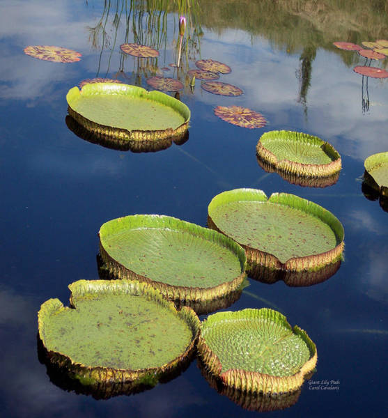 Mixed Media - Giant Lily Pads by Carol Cavalaris