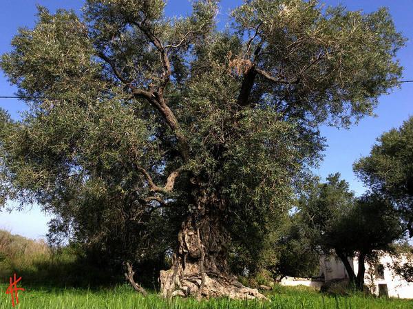 Photograph - Giant Olive Tree Orgiva Spain  by Colette V Hera  Guggenheim