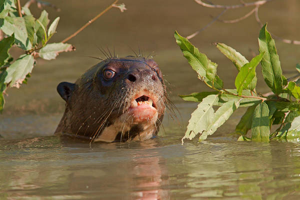 Photograph - Giant Otter by Aivar Mikko