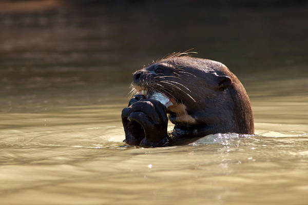Photograph - Giant Otter Eating Fish by Aivar Mikko