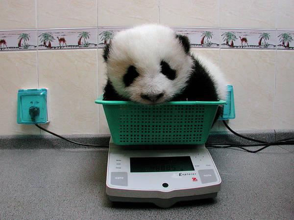 Photograph - Giant Panda Ailuropoda Melanoleuca Baby by Katherine Feng