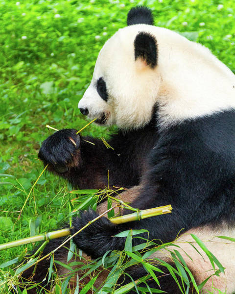 Photograph - Giant Panda Feeding On Bamboo by SR Green