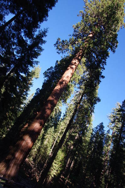 Giant Redwood Trees Art Print