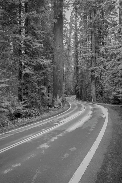 Photograph - Giant Redwoods Along The Avenue Of The Giants by Ranjay Mitra