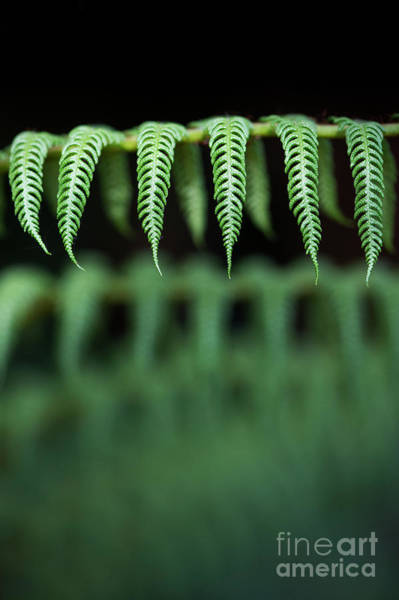 Fronds Photograph - Giant Scaly Tree Fern by Tim Gainey