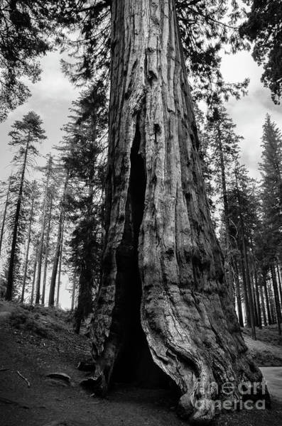 Photograph - Giant Sequoia At Mariposa Grove Bw by RicardMN Photography