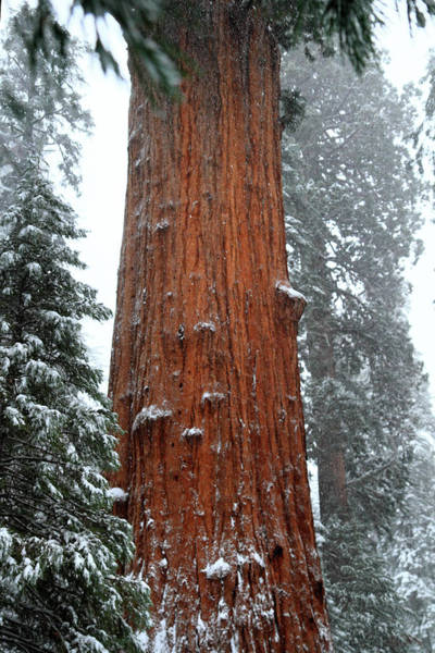 Photograph - Giant Sequoia Tree by Pierre Leclerc Photography