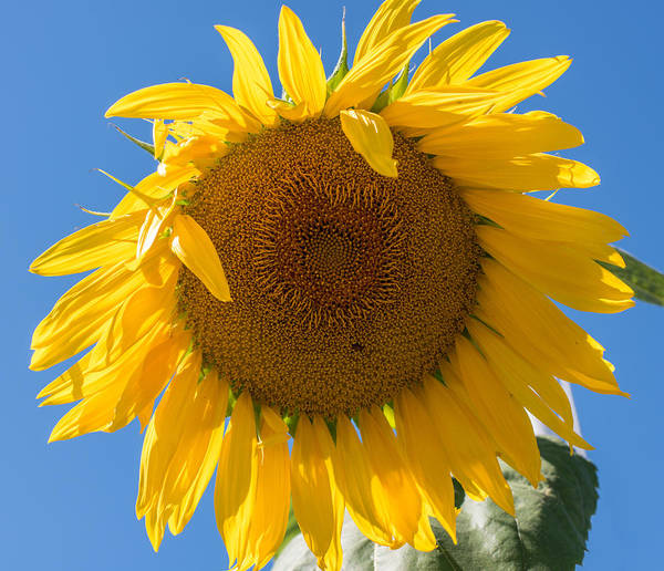 Photograph - Giant Sunflower Blue Sky by Terry DeLuco