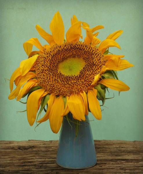 Wall Art - Photograph - Giant Sunflower Still Life On Blue by Chris Berry