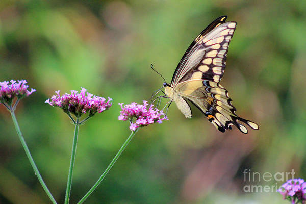 Photograph - Giant Swallowtail Butterfly On Verbena 2015 by Karen Adams