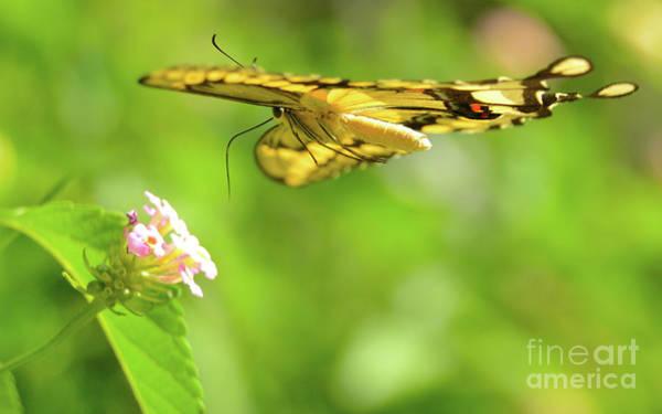 Wall Art - Photograph - Giant Swallowtail In Flight by Michael Tidwell