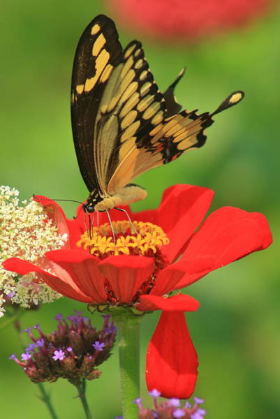 Wall Art - Photograph - Giant Swallowtail On Zinnia by John Burk