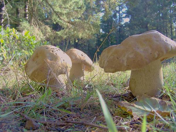 Shrooms Photograph - Giant Toadstools by Angi Parks