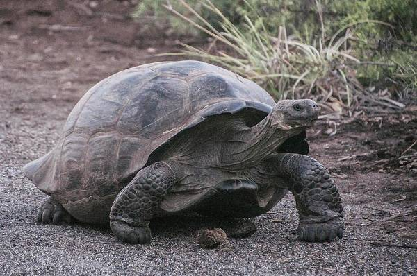 Photograph - Giant Tortoise by NaturesPix