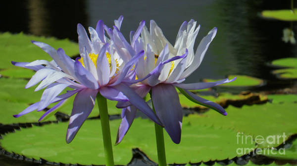 Evie Photograph - Giant Waterlily 3 by Evie Hanlon