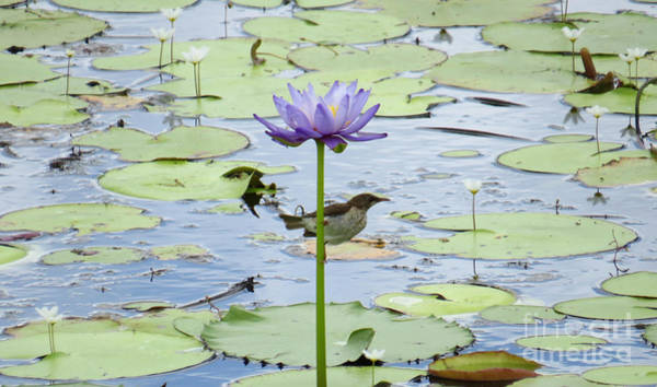 Evie Photograph - Giant Waterlily And Honeyeater by Evie Hanlon