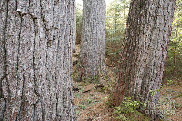 Photograph - Giant White Pines - White Mountains New Hampshire by Erin Paul Donovan