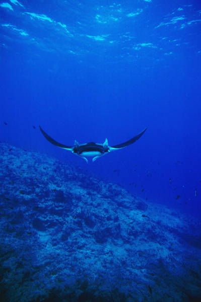 Sea Of Cortez Photograph - Gianta Pacific Manta Ray Swimming by James Forte