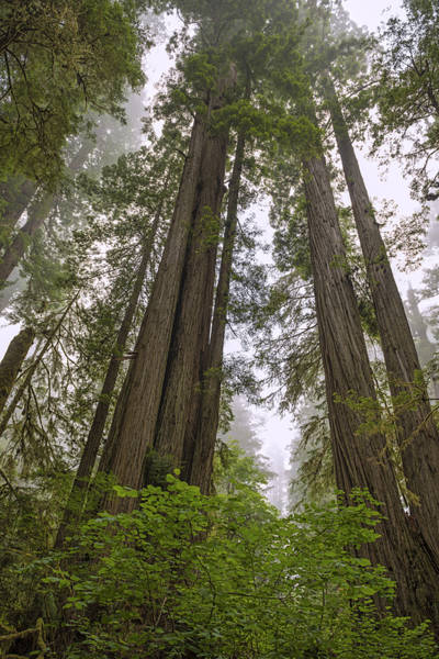 Photograph - Giants In The Fog by Loree Johnson