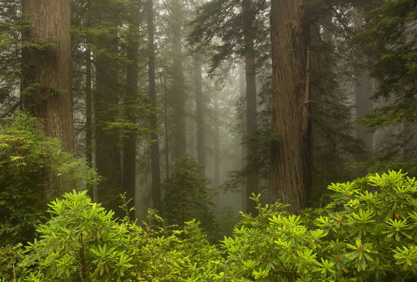 Redwoods Photograph - Giants In The Mist by Mike  Dawson