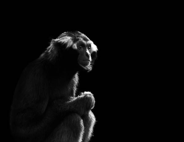 Wall Art - Photograph - Gibbon by Chris Whittle
