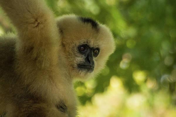 Gibbon Portrait Art Print