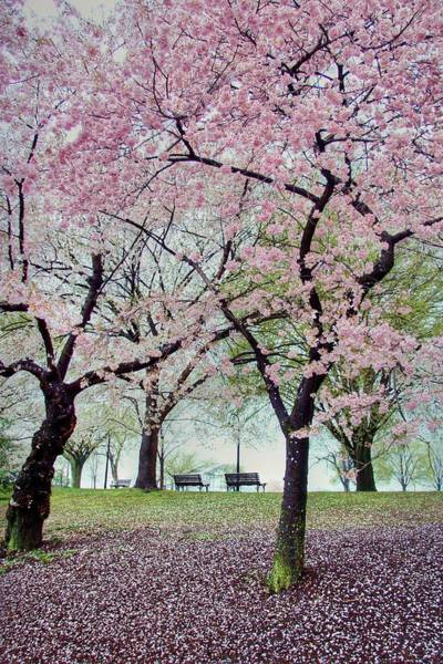 Cherry Trees Photograph - Gifts by Mitch Cat