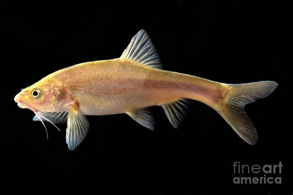 Wall Art - Photograph - Gii Golden Line Barbel by Dant� Fenolio