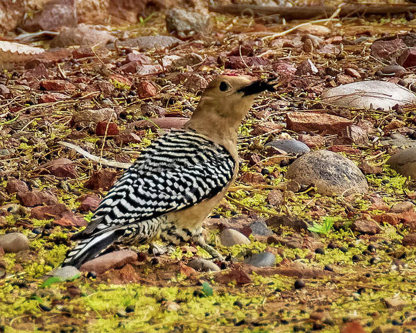 Photograph - Gila Woodpecker 1839 by Mark Myhaver