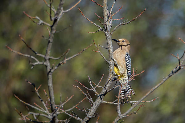 Photograph - Gila Woodpecker by Dan McManus