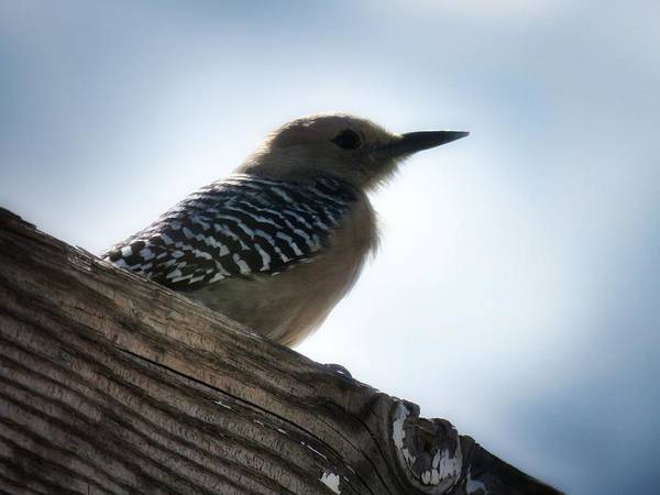 Photograph - Gila Woodpecker by Judy Kennedy