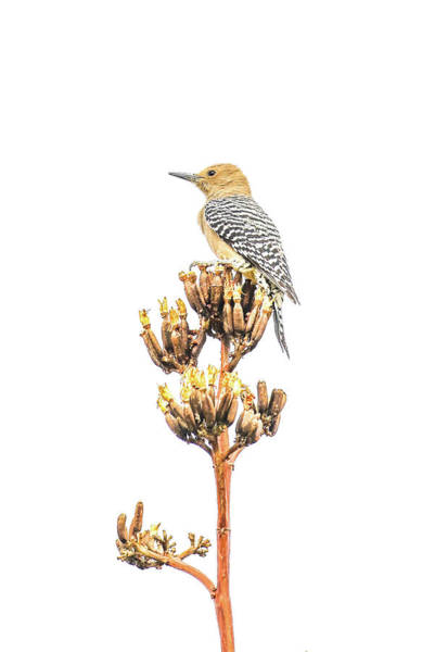 Photograph - Gila Woodpecker by Tom and Pat Cory