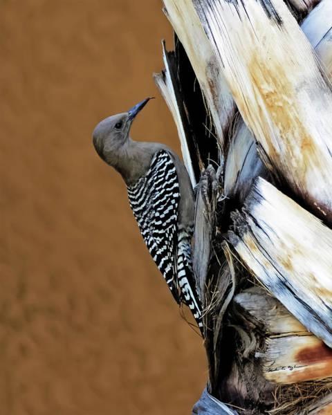 Photograph - Gila Woodpecker V41 by Mark Myhaver