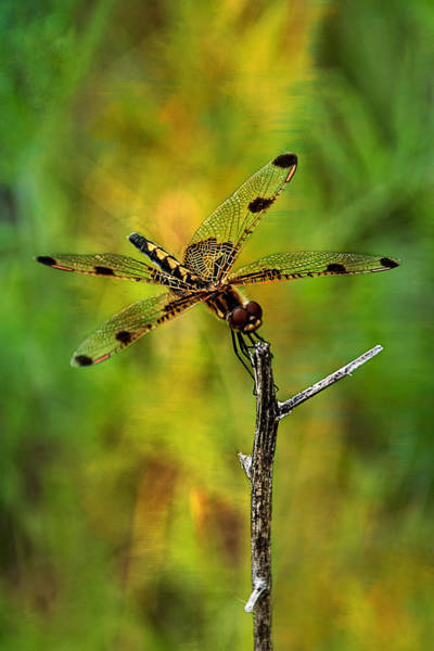 Photograph - Gold Heart Dragonfly  by Christina VanGinkel