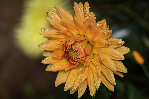 Photograph - Gilded Dahlia by Robert Potts
