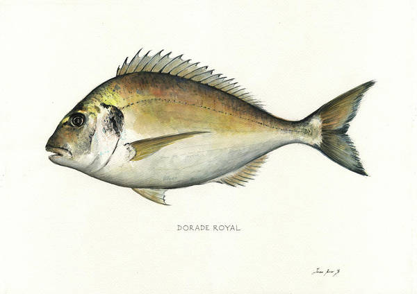 Wall Art - Painting - Gilt Head Bream by Juan Bosco