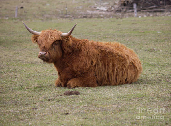 Photograph - Ginger Highland Cow Resting 2 by Donna L Munro