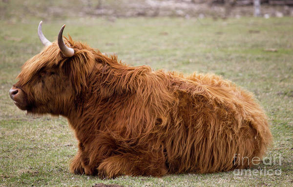 Photograph - Ginger Highland Cow Resting by Donna L Munro